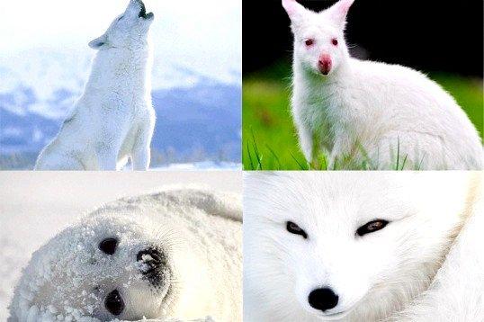 Які тварини бувають білими