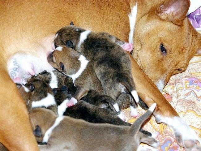 Чим годувати собаку після пологів