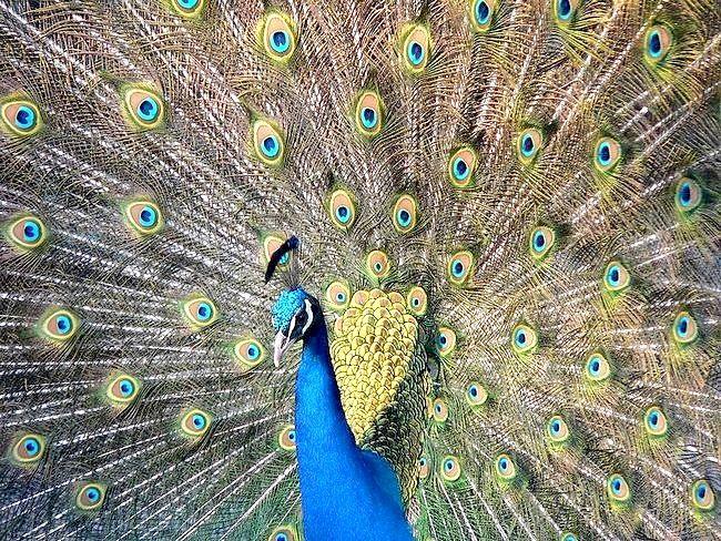Яка птах найкрасивіша в світі