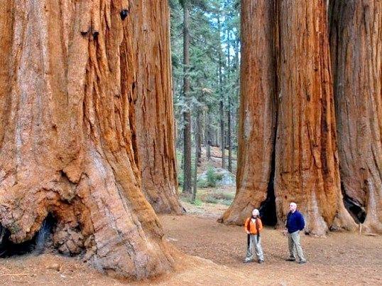 Яке найвище дерево на землі