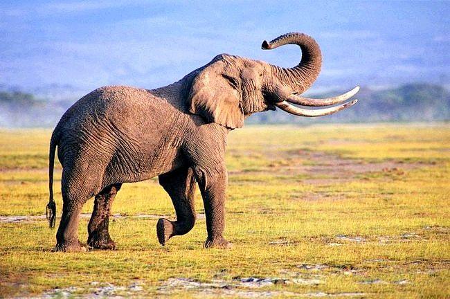 Слони є довгожителями у своїй ніші тваринного царства