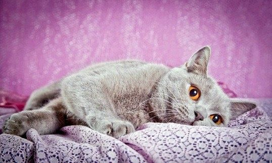 Який характер у кішок британської породи