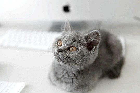 Якої породи кошеня з реклами