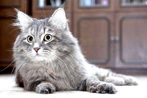 Яку кішку завести алергіку?