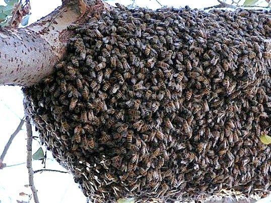 Хто такі бджоли-вбивці
