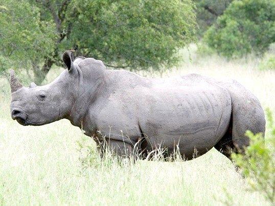 Хто такий білий носоріг