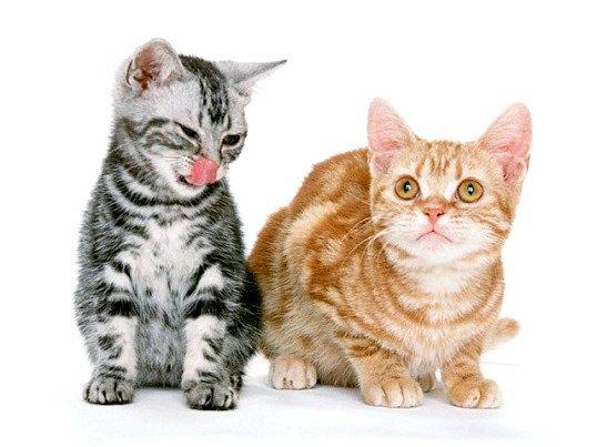 Кращий вологий корм для кішок