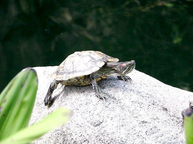 як годувати красноухих черепах