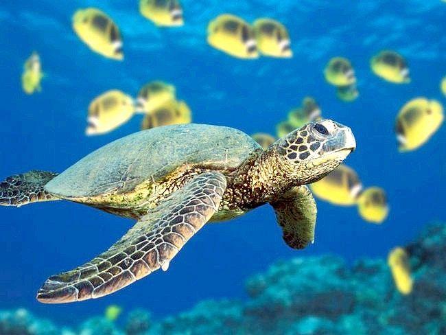 як годувати морських черепах