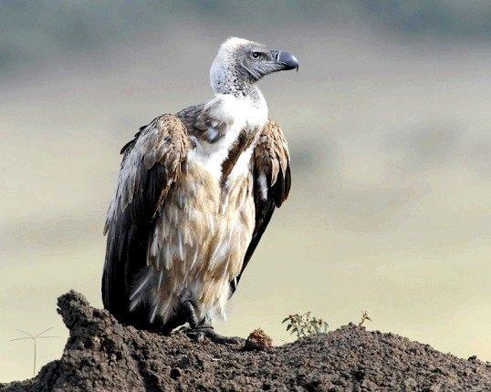 Спосіб життя птахів-падальщиков