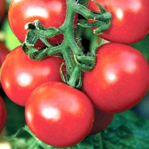 Особливості сорту томату «Евпатор»