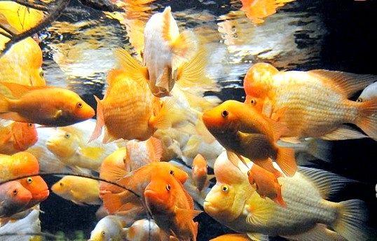 Від чого залежить поведінка акваріумних рибок