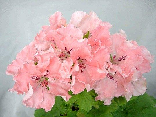 Пеларгонія, цвітіння по королівськи