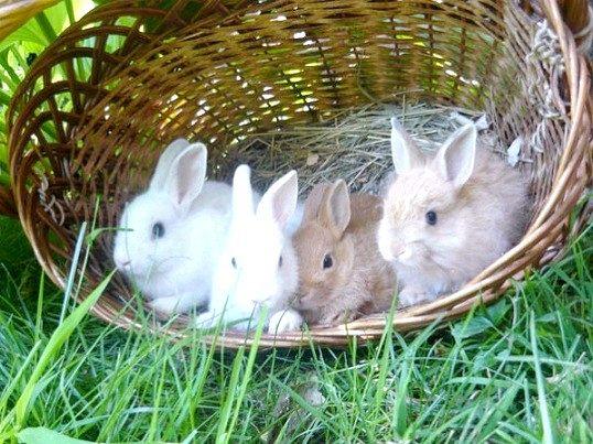 Харчування декоративних кроликів