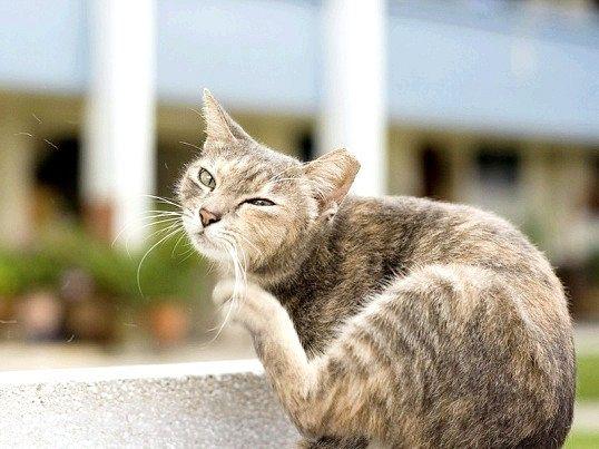 Чому кішка свербить