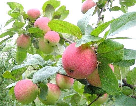 Чому погано росте яблуня