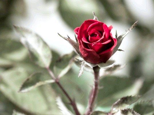 Чому троянди колючі