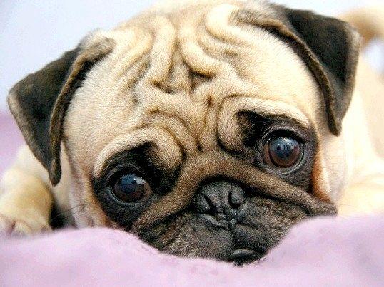 Чому у собаки гнояться очі