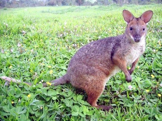 Чому в австралії майже всі тварини сумчасті