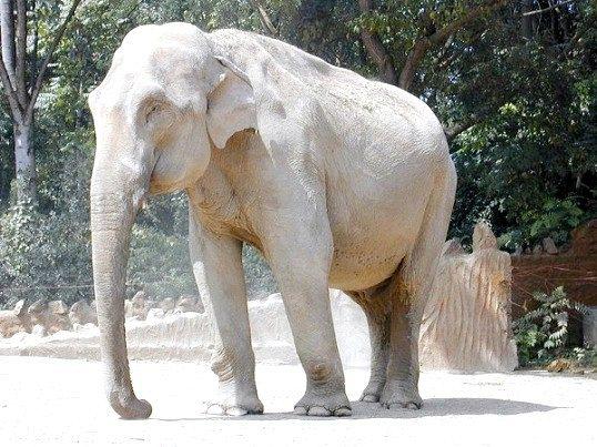 Індійський слон - представник Хоботова