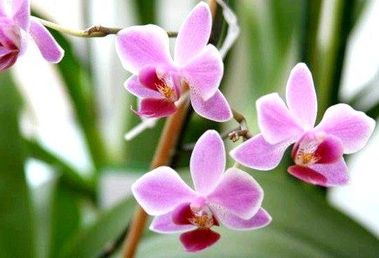 Правильна пересадка орхідеї