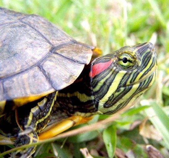 Правильне утримання красноухой черепахи
