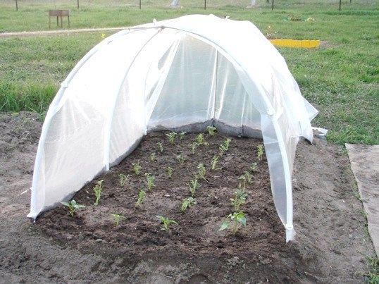 Простий спосіб виростити розсаду помідорів