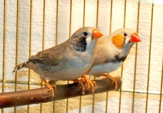 Пташки амадини: особливості змісту