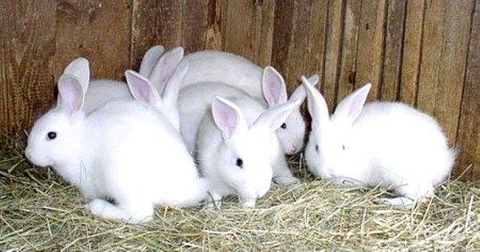 Розведення і відгодівлю кроликів