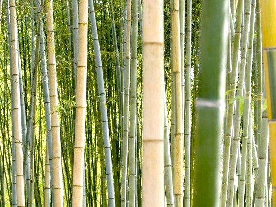 З якою швидкістю росте бамбук