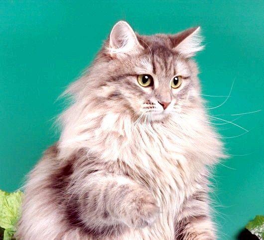 як вибрати кличку кішці