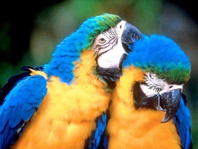 Скільки живуть папуги