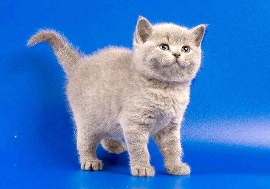 Скільки коштує кошеня британця?