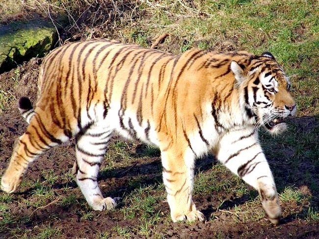 Скільки видів тигрів існує