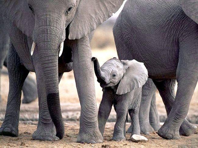з тварин крім слонів боїться мишей