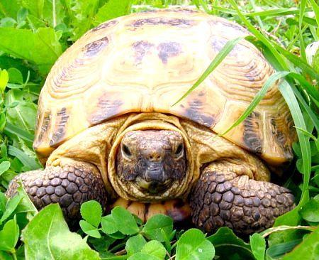 дізнатися вік сухопутної черепахи