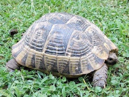 як визначити вік середньоазіатської черепахи