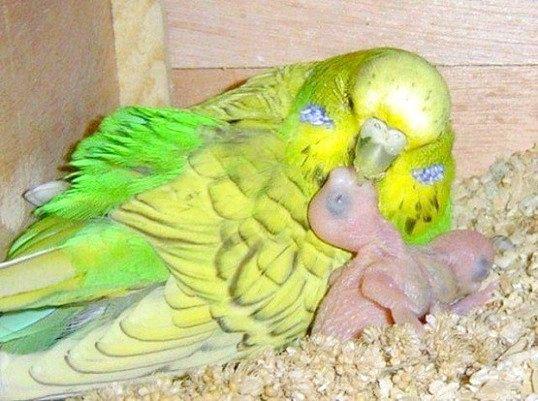 Порада 1: як вигодувати пташенят хвилястого папугу