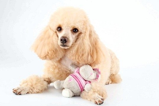 Порада 1: яка порода собак краще для вдома з дітьми
