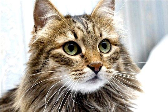 Порада 1: які кішки гіпоалергенні