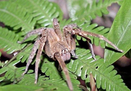 Порада 1: який найбільш отруйний павук у світі
