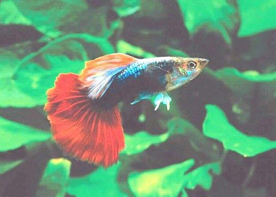 Порада 1: самі невибагливі акваріумні рибки