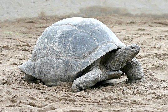 Скільки років живе сухопутна черепаха