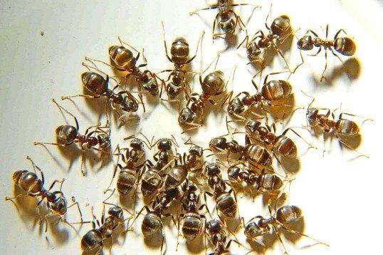 Способи позбутися від домашніх мурашок