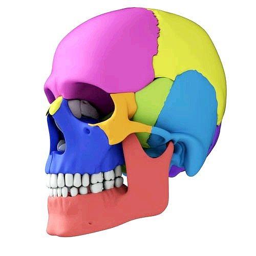 Будова кісток черепа