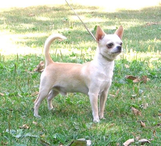 Догляд за собакою породи чихуахуа