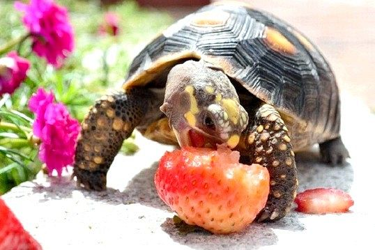 Домашня черепаха
