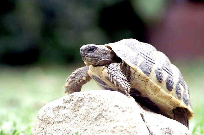 як утримувати в квартирі черепаху