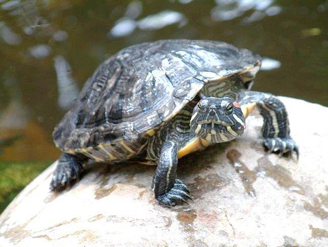 як відрізнити самця красноухой черепахи від самки