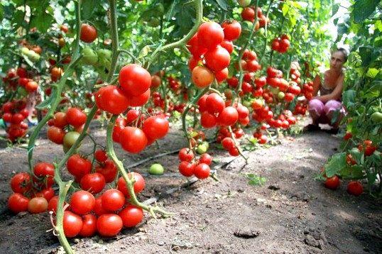 Навіщо треба обрізати листя у томатів